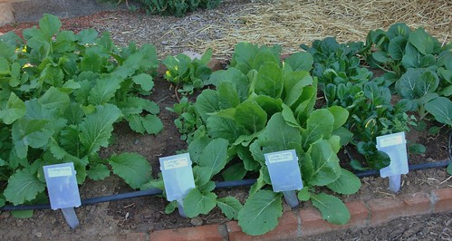 A row of vegetables in the Fall maricopa County Cooperative Extension vegetable garden (l to r): Chines Cabbage 'Wong Bok,' Chinese Cabbage 'Qingdao 65,' & Bok Choy. | by Eileen M. Kane