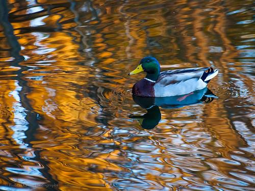 sunset lake reflection duck nashville tennessee olympus mallard waterfowl omd radnorlake em5 70300mmf456zuiko