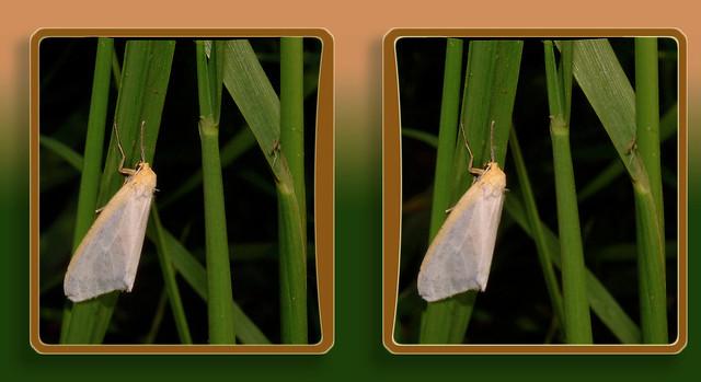Cycnia Tenera, the Dogbane Tiger Moth 1 - Parallel 3D