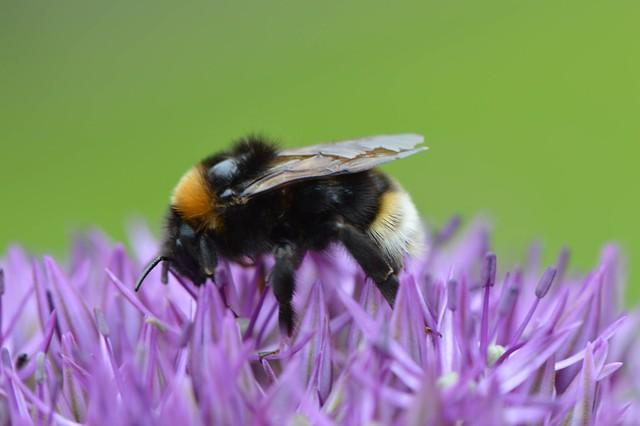 White-tailed Bumblebee Bombus Lucorum