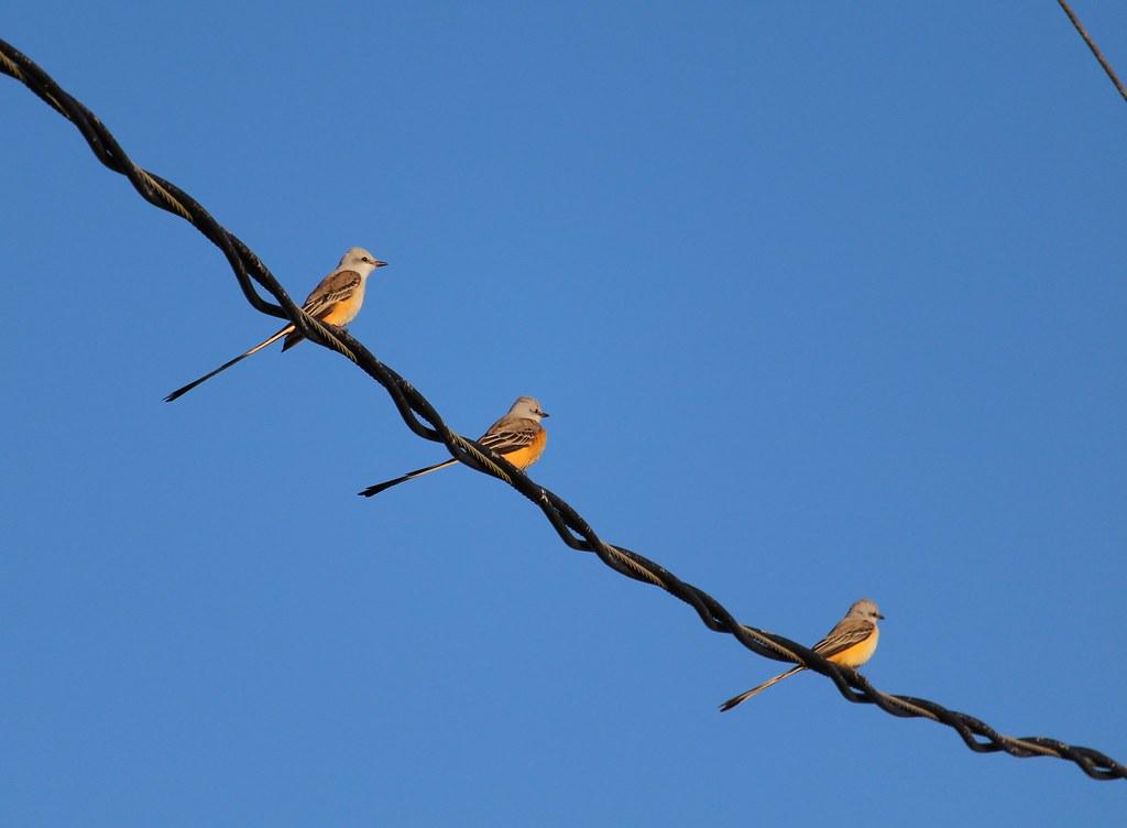 Scisor Tailed Flycatchers