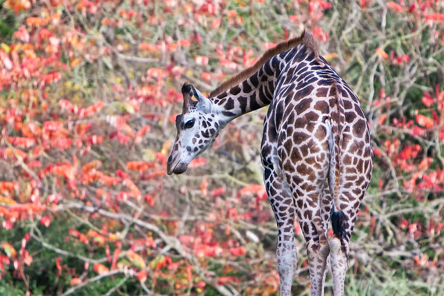 Rothschild Giraffe (Giraffa camelopardalis rothschildi) at Woodland Park Zoo (1)