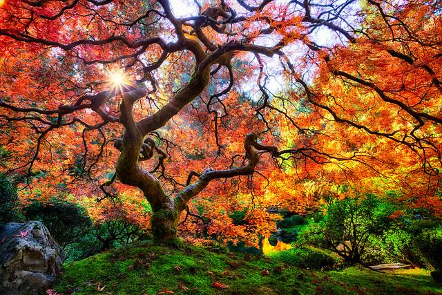 Famous Japanese Garden Tree in Portland by Michael Matti