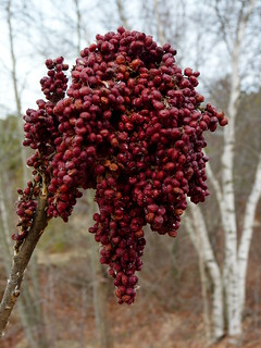 Sumac berries | by Dendroica cerulea