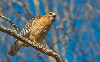 Red-shouldered Hawk | by cre8foru2009