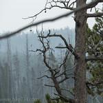 Western Wood Pewee