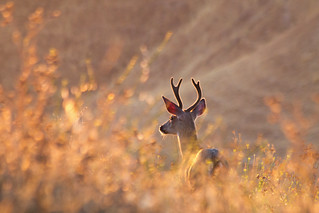 Sunlit Buck | by Eastbaygirl925
