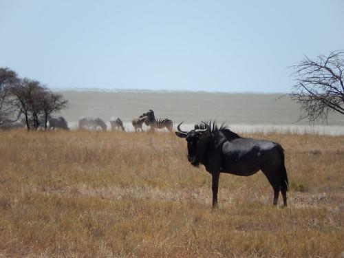 Etosha NP - blue wildebeest en zebra