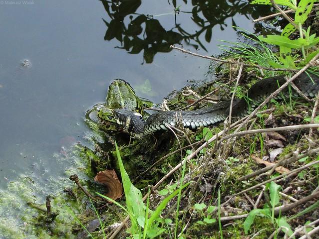 Natrix natrix - zaskroniec zwyczajny, grass snake