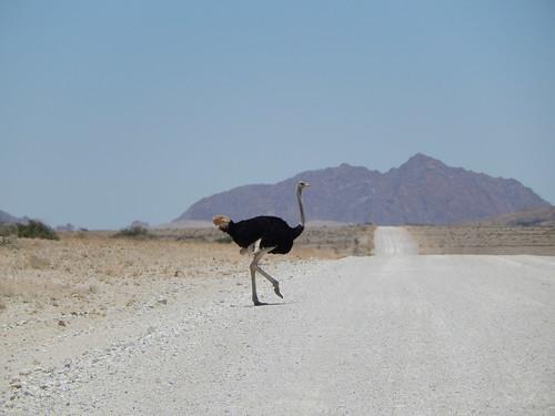 Namibië - Onderweg naar Sesriem - struisvogel steekt over