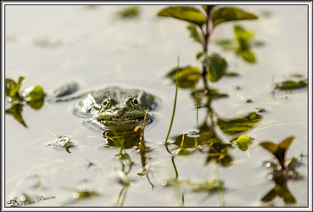Grenouille 04ad
