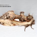 伪奇舟蛾  Pseudallata laticostalis