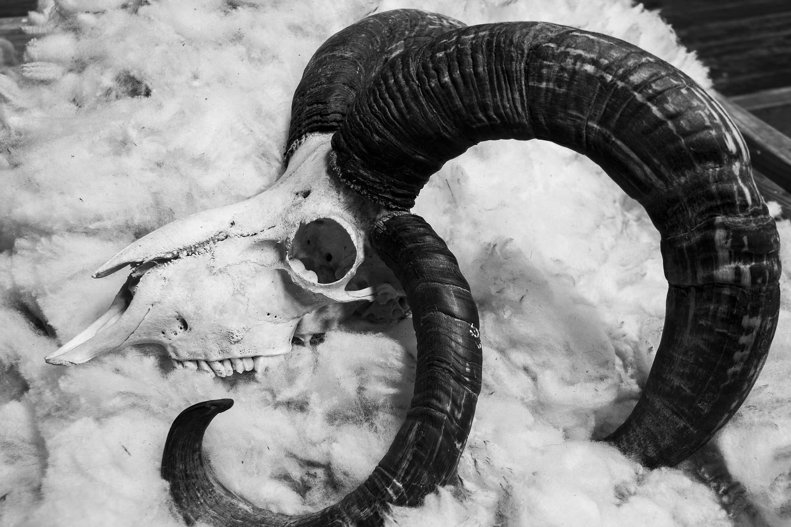 Jacob Ram skull