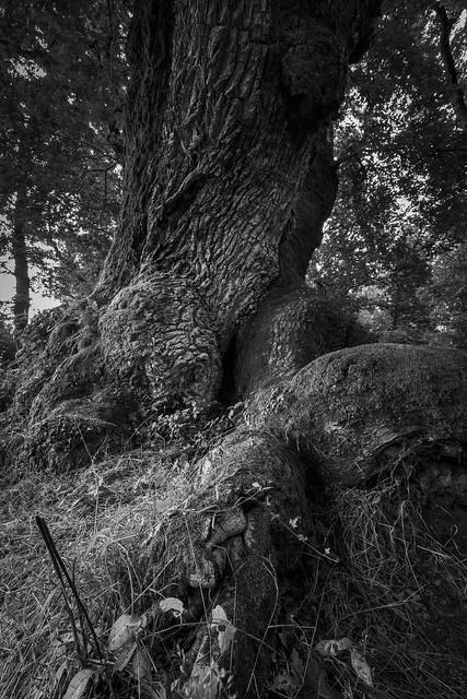 Chêne de Cantaure (40)
