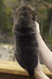 Haru-Litter4-Day20-Puppy1-Male-b   by brada1878
