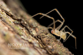Comb-Footed Spider (cf. Meotipa sp.) - DSC_9623