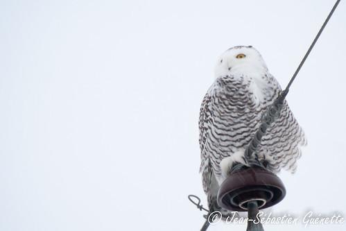canada bird animal aves québec oiseau snowyowl mirabel strigidae harfangdesneiges