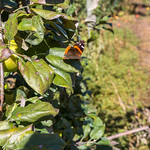 Butterfly on an apple tree