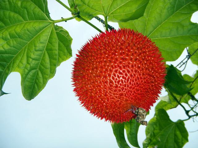 in the Mekong, a ripe Gac fruit