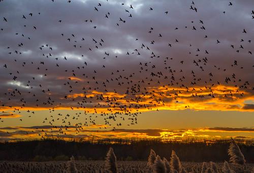 birds blackbirds sunset