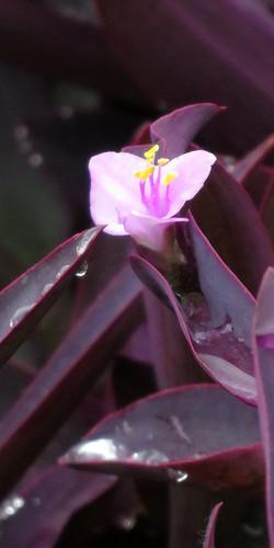 Queen Elizabeth Park: Raindrops on a Purple Heart plant