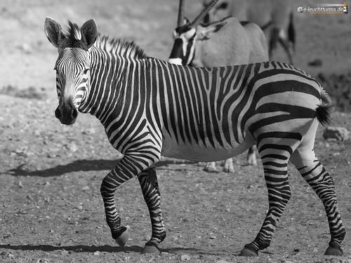 4x3 africa afrika bergzebra equidae equuszebra equuszebrahartmannae etoshanationalpark hartmannbergzebra namibia perissodactyla pferde säugetiere unpaarhufer vertebrata vertebrates wirbeltiere mammals monochrome mountainzebra kunene