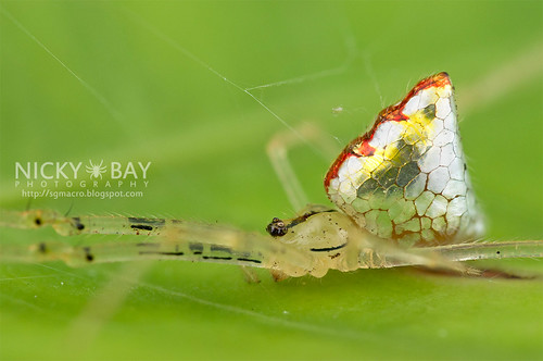 Mirror Spider (Thwaitesia sp.) - DSC_9975 | by nickybay