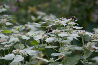 04126 Bumblebee on Mountain Mint | by rockerBOO
