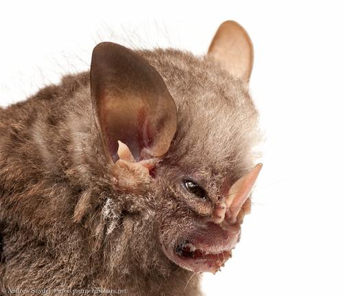 Little White-shouldered bat