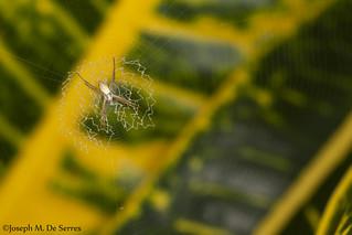 Orb-weaver spider