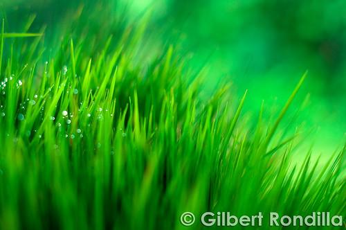 food plants plant green grass leaves san rice philippines nursery fresh dew filipino laguna rafael agriculture seedlings pinoy palay grassblades luisiana 50mm18d nikond90 dapog gilbertrondilla gilbertrondillaphotography