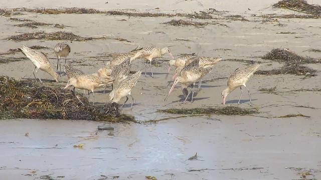 MVI_7348 marbled godwits goleta haskell beach
