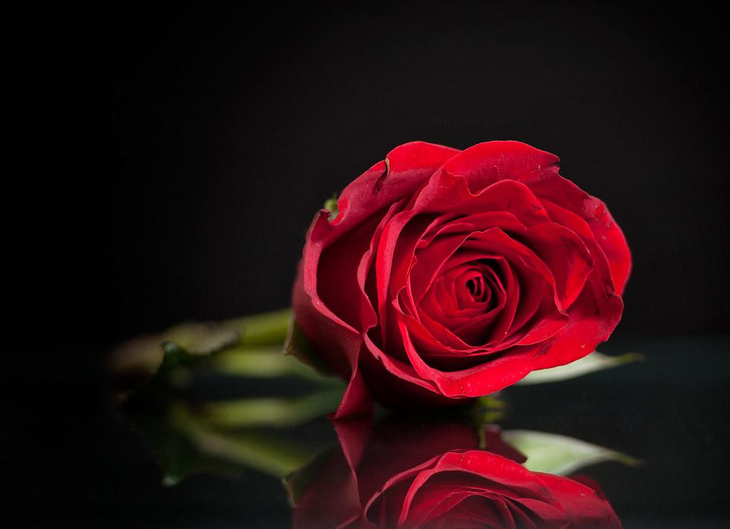 Valentine's Day Rose (2/52)