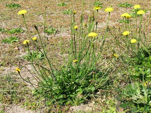 Hypochaeris radicata plant NC3