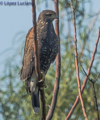 GAVILAN MIXTO.(Parabuteo unicinctus.)BAY WINGED HAWK. | by LOPEZ LUCIANO 6,000,000 VISITAS.GRACIAS....