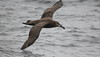 Black-footed Albatross Phoebastria nigripes by Neil Cheshire
