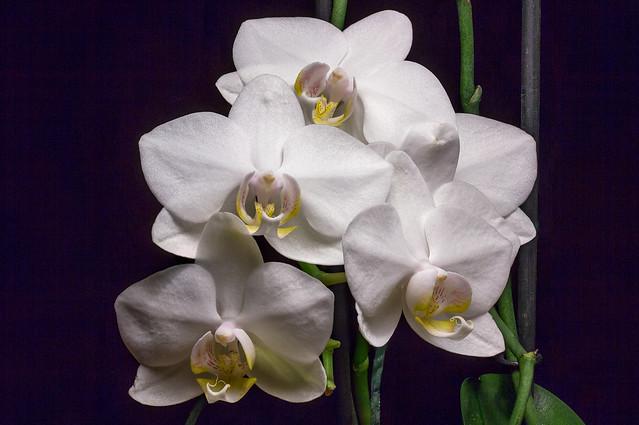 Like White Moths - TNY_4988S13