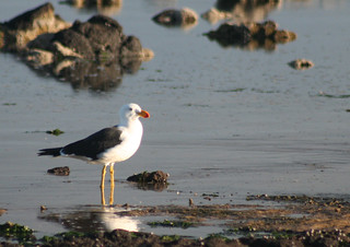 20130630_0213 Pacific Gull - Larus pacificus | by williewonker