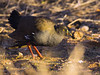 Black-tailed Native-hen (Tribonyx ventralis) by David Cook Wildlife Photography