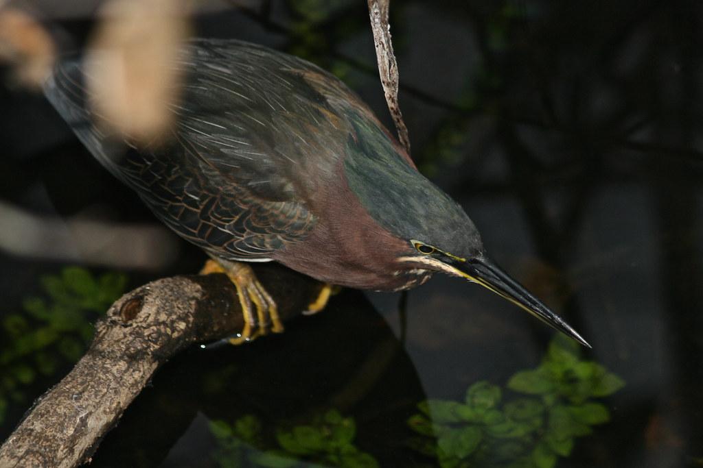 Green Heron - Butorides virescens  725