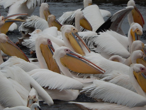 Walvis baai - Great White pelicans