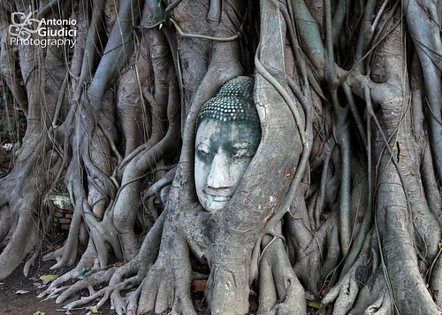 Buddha head in a tree at Wat Mahatat, Ayutthaya | by Antonio Giudici Butterfly Trips