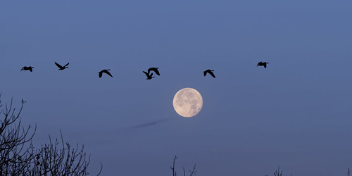 birthday usa moon nature sunrise prime geese colorado flight luna fullmoon aurora dxo lunar canadageese allrightsreserved cherrycreekstatepark ef70200mmf4lis canon7d copyright2013davidcstephens dxoopticspro91 mg9446dxo