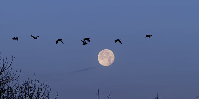 Geese pass the moon...
