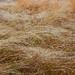 Early morning dew weighs down prairie grasses near Bobolink Trailhead.