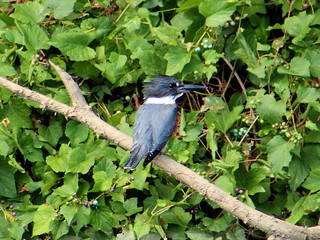 Belted Kingfisher on the Anacostia   by Mr.TinDC