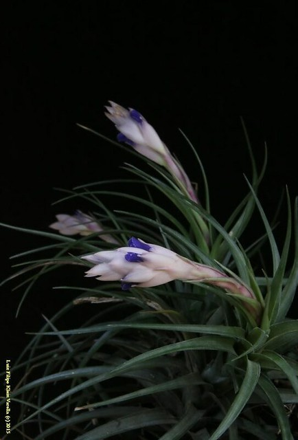 Tillandsia aeranthos (2015 blooming)