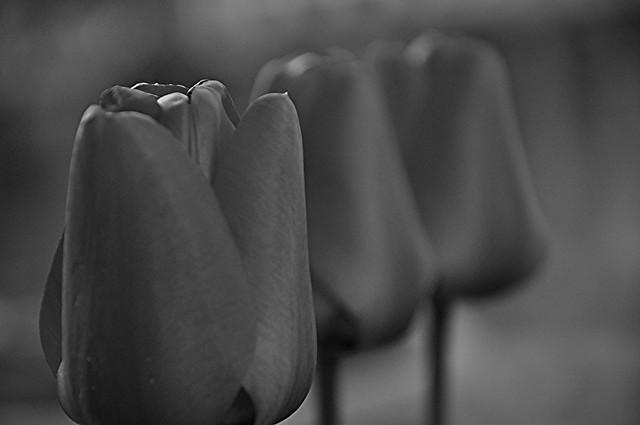 Tulipani & Co: