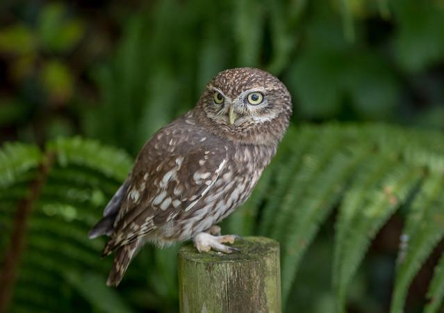 DSC4787  Little Owl..