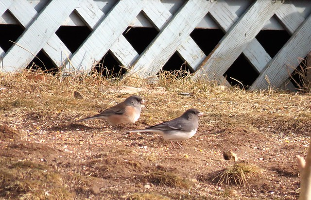 Dark Eyed Juncos, including Pink-sided and White-winged